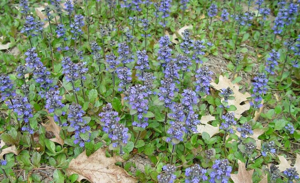 Bugle (Ajuga reptans): Garden Herbs that Grow in the Shade