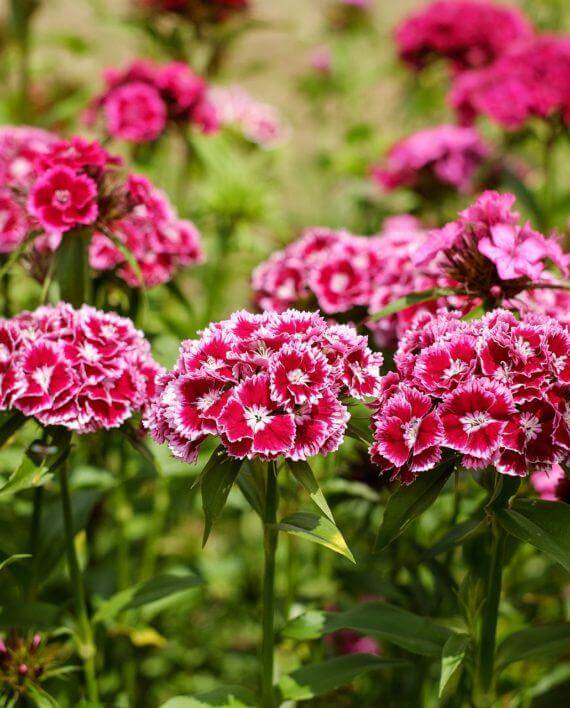 Border Carnation (Dianthus caryophyllus) | Fragrant Garden Perennial Plants: Flowering Perennials for a Fragrance Garden