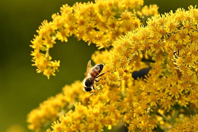Goldenrods (Solidago spp.) | Fall Flowers to Light Up Shade Gardens - FarmFoodFamily.com