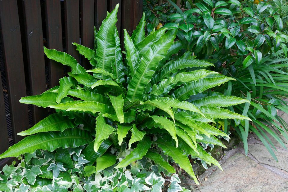 Hartstongue Fern, Asplenium scolopendrium | Enhance Shady Gardens with Evergreen Ferns - FarmFoodFamily.com