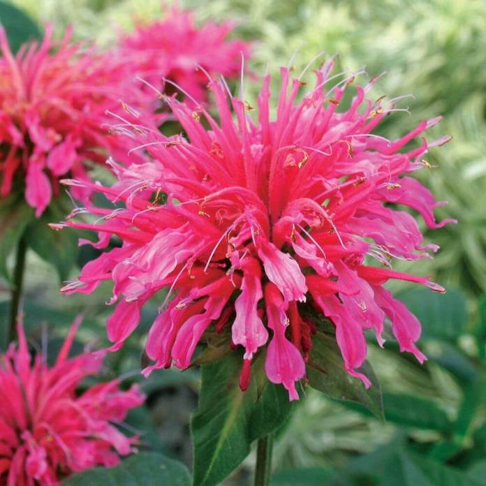 Bee Balm (Monarda didyma) | Fragrant Garden Perennial Plants: Flowering Perennials for a Fragrance Garden