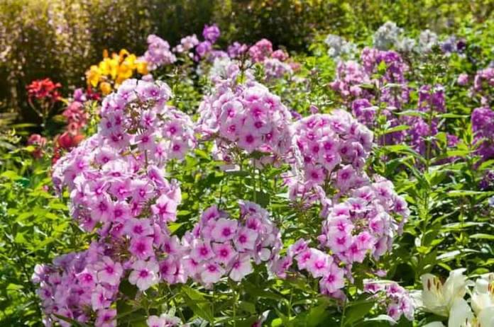 Garden Phlox (Phlox paniculata) | Fragrant Garden Perennial Plants: Flowering Perennials for a Fragrance Garden