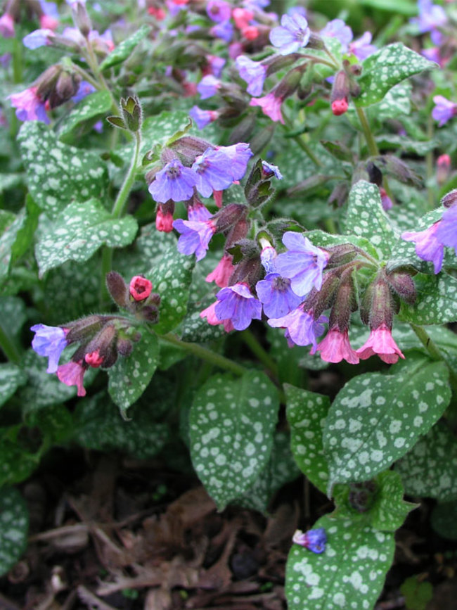 Lungwort (Pulmonaria): Garden Herbs that Grow in the Shade