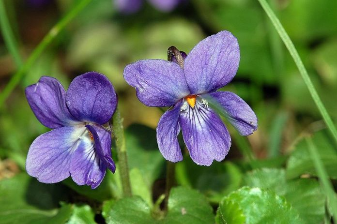 Sweet Violet (Viola odorata): Garden Herbs that Grow in the Shade