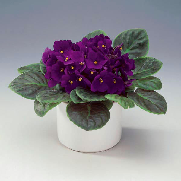 African Violet (Saintpaulia ionantha) | Child and Pet Safe Houseplants: Non-Toxic Indoor Plants | FarmFoodFamily