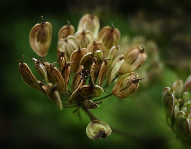 Anise plant - This annual herb has a licorice scent and flavor that attracts wasps, and in turn, the wasps eat aphids that host off nearby plants