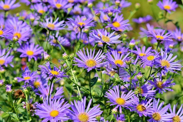 Asters (Aster spp.) | Fall Flowers to Light Up Shade Gardens - FarmFoodFamily.com