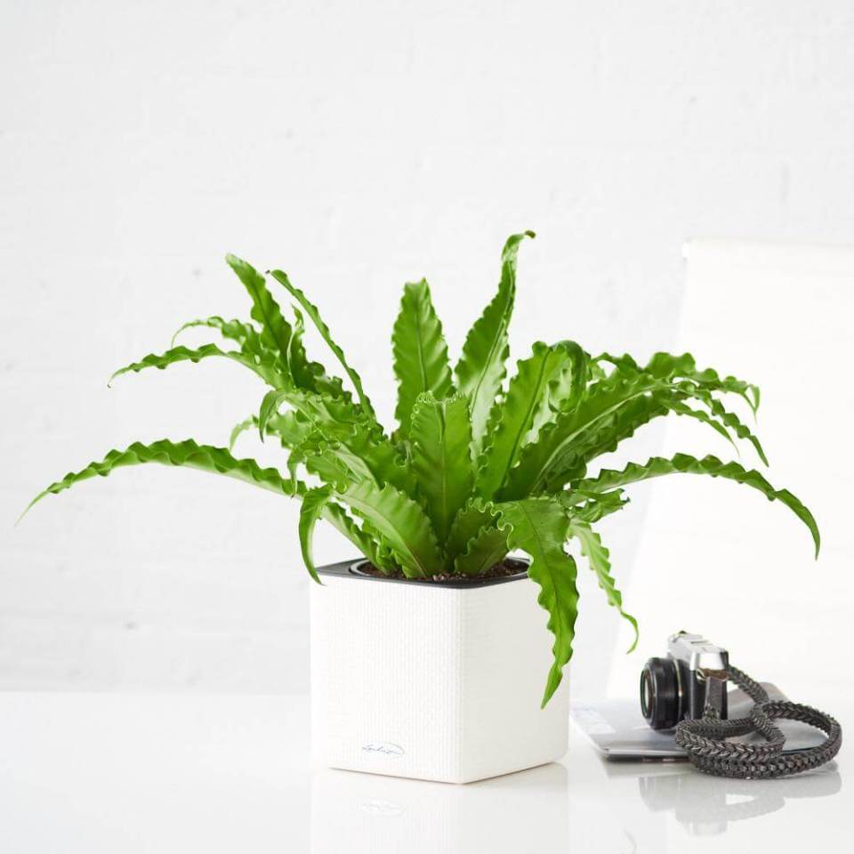 Bird's Nest Fern, Asplenium nidus | Enhance Shady Gardens with Evergreen Ferns - FarmFoodFamily.com