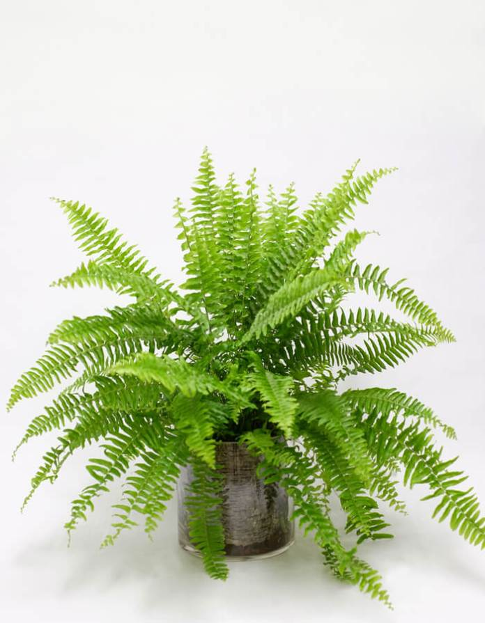 Boston Fern, Nephrolepis exaltata | Enhance Shady Gardens with Evergreen Ferns - FarmFoodFamily.com