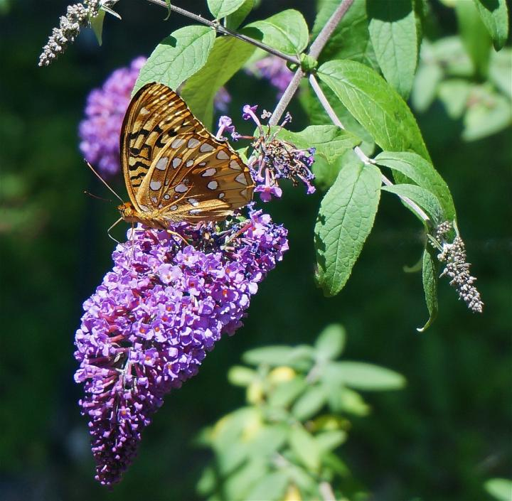 Planting and Caring for the Butterfly Bush