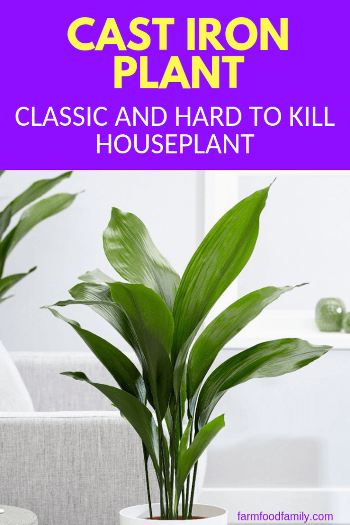 All About Cast Iron Plant (Aspidistras): Care of this Classic and Hard to Kill Houseplant