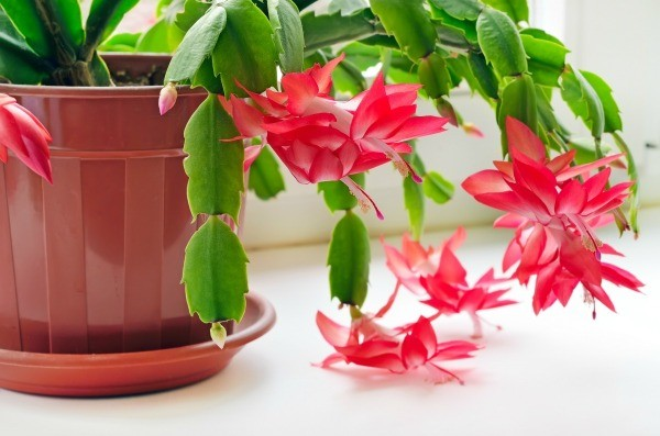 Christmas Cactus (Schlumbergera species) | Winter Flower Garden Indoors: Blooming Plants to Grow In the House during Cold Weather Months | FarmFoodFamily.com