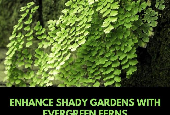 Enhance shady gardens with evergreen ferns