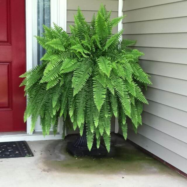 Ferns grow surprisingly well in many different situations and grow best when settled between April and October.
