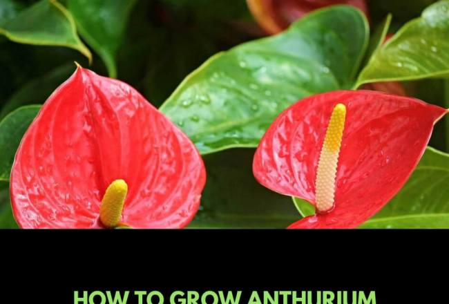 How to grow Anthurium