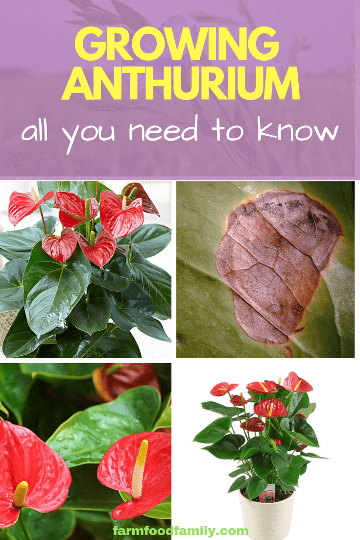 Growing Anthurium