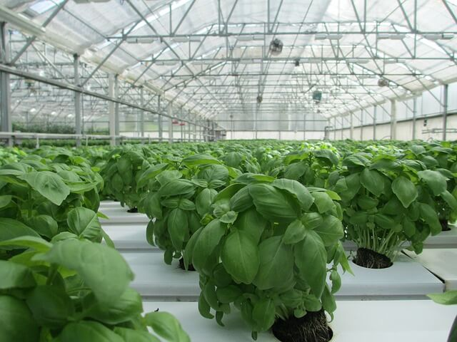 Growing Basil in greenhouse