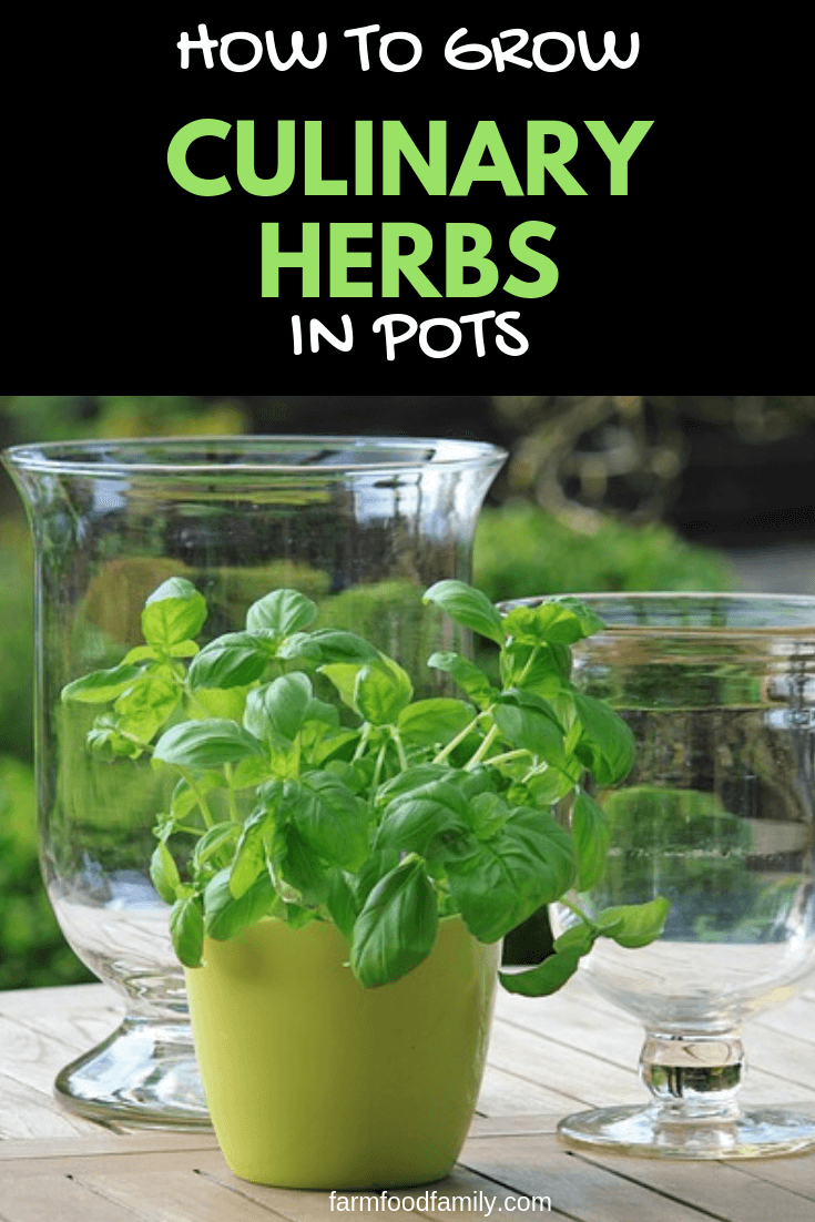 Growing Culinary Herbs in Pots