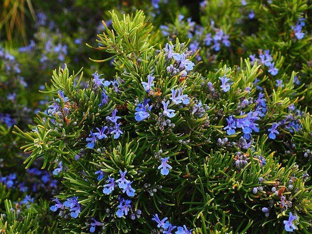 How to grow Rosemary from seeds
