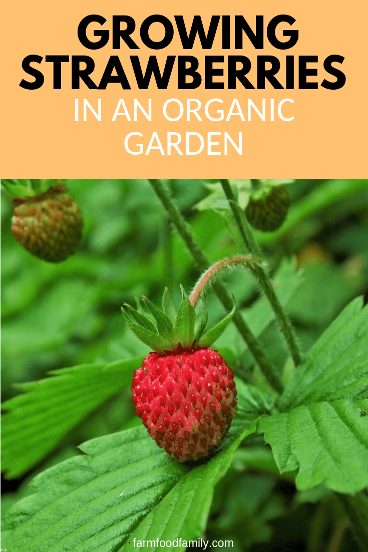 How to grow strawberries organically at home