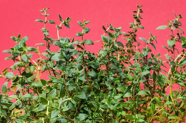 Varieties of thyme and how to grow it from cuttings