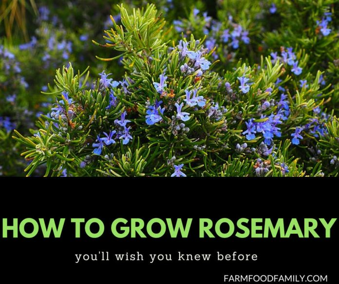 How to grow Rosemary from cuttings