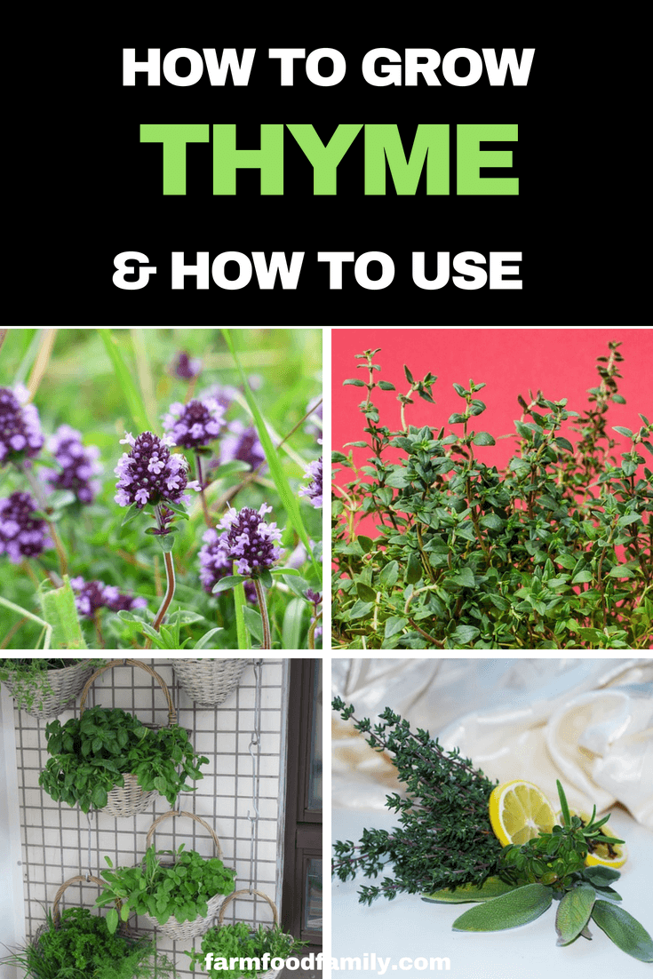 How to grow Thyme from seeds or Seedinglings at home