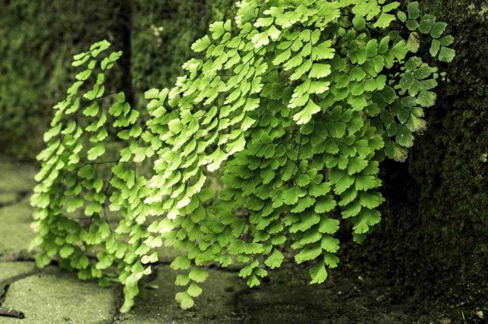 Maidenhair Fern, Adiantum raddianum | Enhance Shady Gardens with Evergreen Ferns - FarmFoodFamily.com