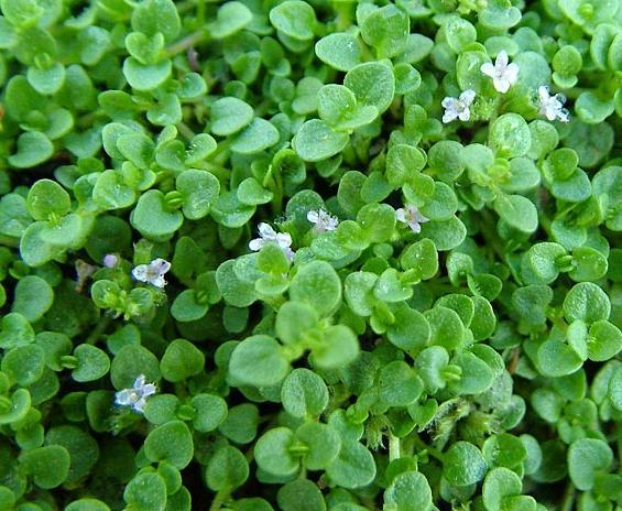 Corsican Mint (Mentha requienii): Garden Herbs that Grow in the Shade