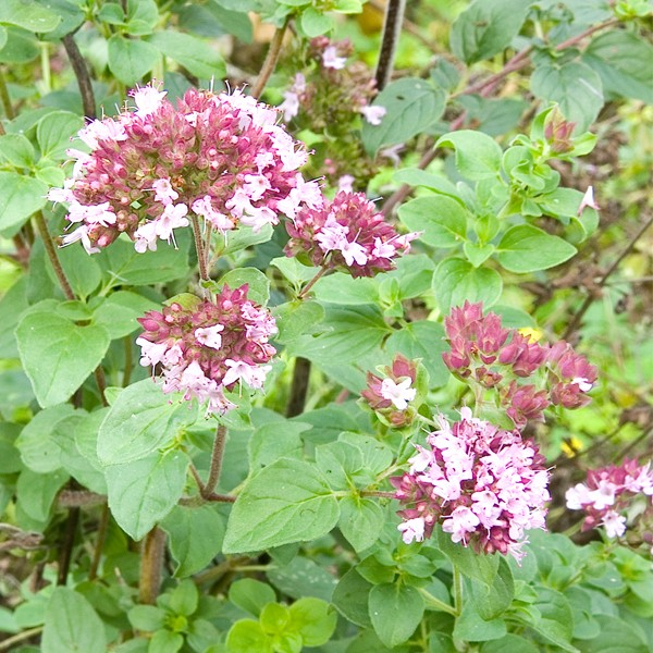 Oregano (Origanum vulgare): Garden Herbs that Grow in the Shade