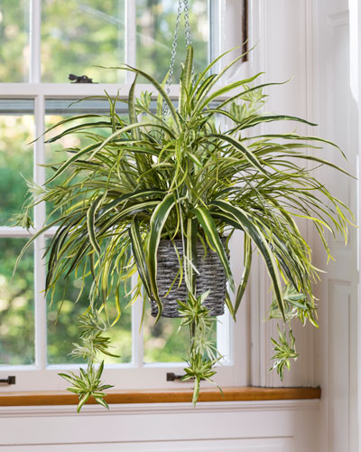 All about the spider plants