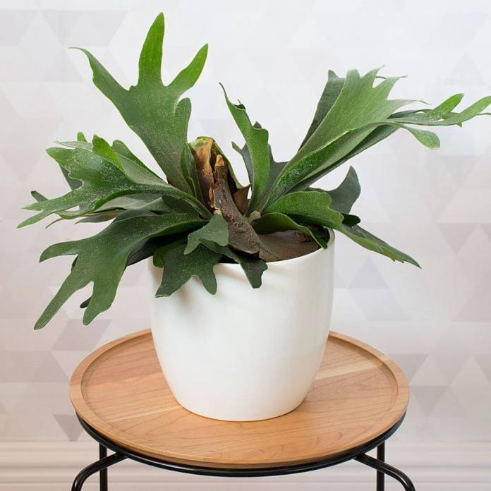 Staghorn Fern, Platycerium holtummii | Enhance Shady Gardens with Evergreen Ferns - FarmFoodFamily.com