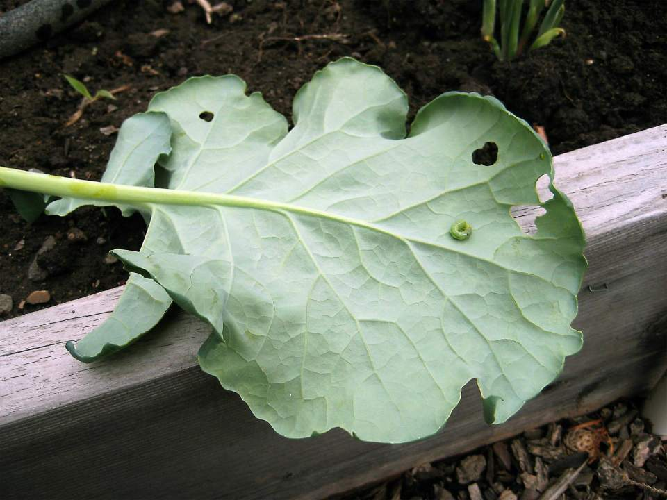 Swiss Cheese Plant Pests