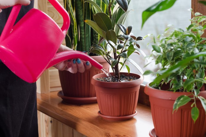 Watering tropical indoor plants