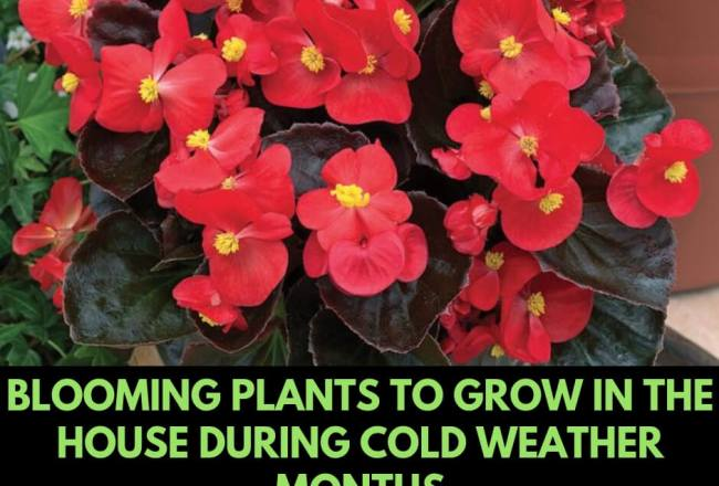 Blooming plants to grow in the house during cold weather months