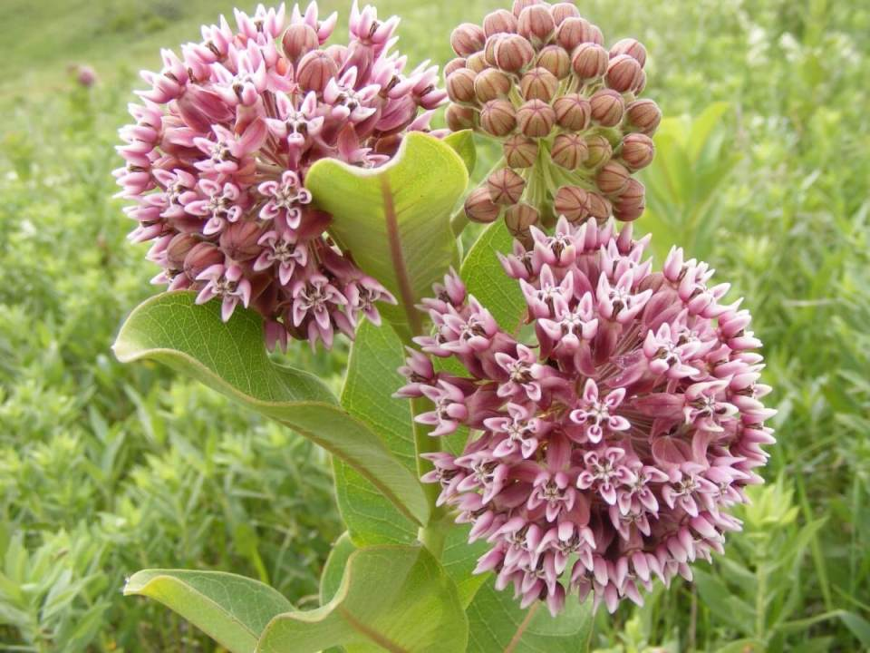 Milkweed | 10 the best butterfly attracting herbs