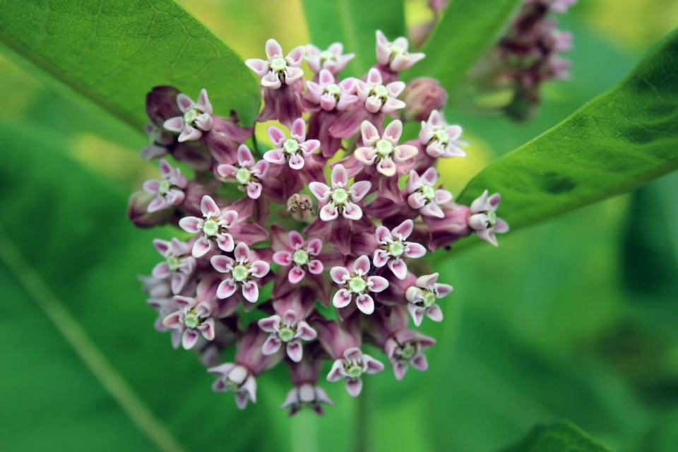 Milkweed | 10 the best butterfly attracting flowers