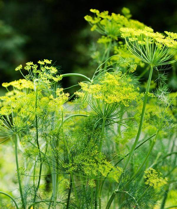 Dill | 10 the best butterfly attracting herbs