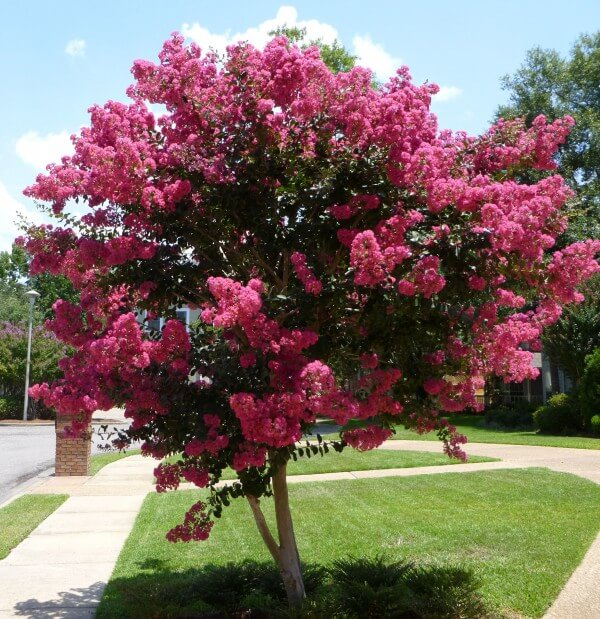 Crepe Myrtles | Low-maintenance flowers and plants