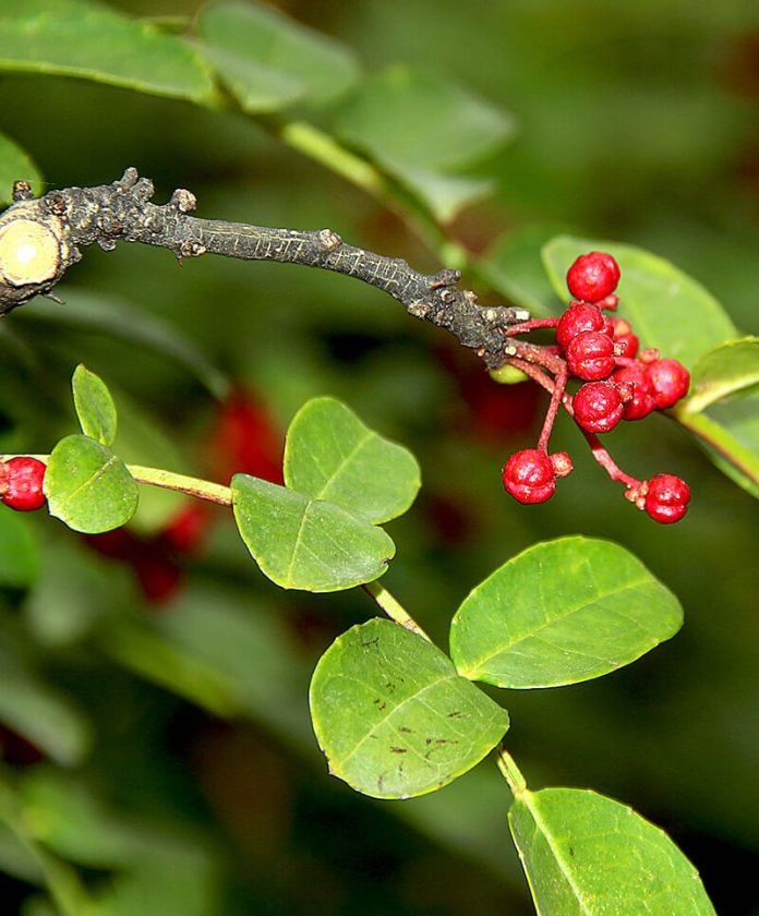 Prickly ash | 10 the best butterfly attracting herbs