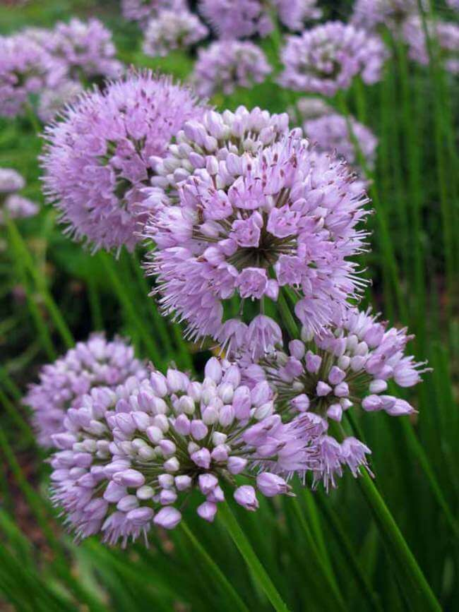 Allium Summer Beauty | Alliums Deer Resistant Garden Flowers: Drought Tolerant Ornamental Onion Plants Deter Small Rodents