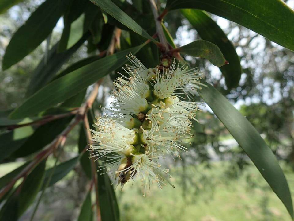 Paperback Tree(Melaleuca quinquenervia) | Top 10 Exotic Invasive Trees in the U.S - FarmFoodFamily.com