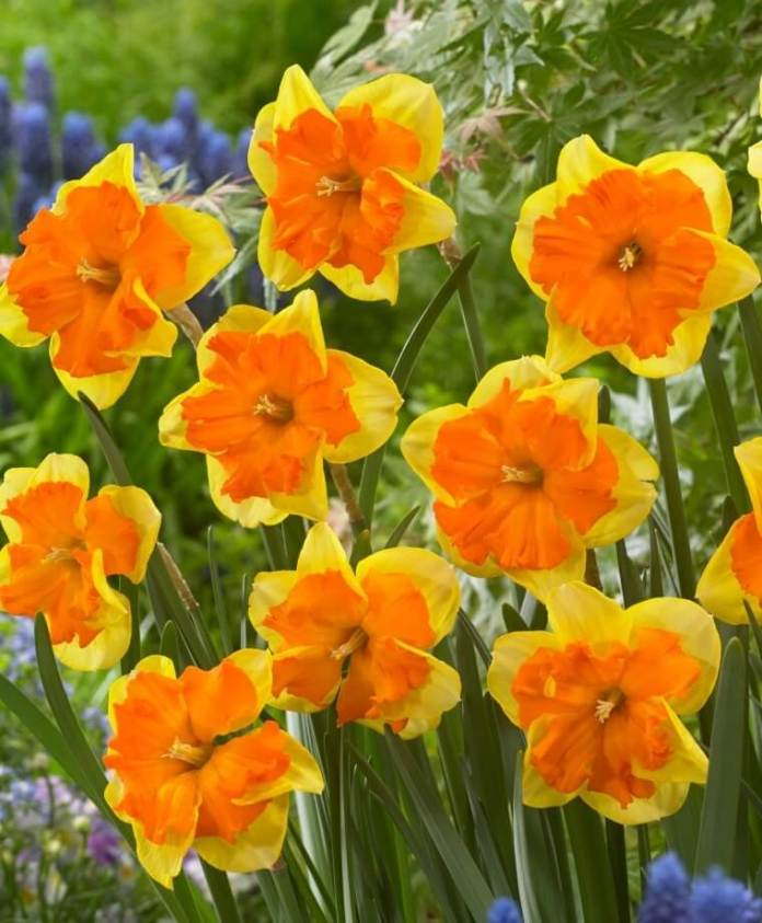 Narcissus Congress | Daffodil Bulb Ideas for Autumn Gardening: Fall Bulb Planting Brings Narcissus Spring Flowers