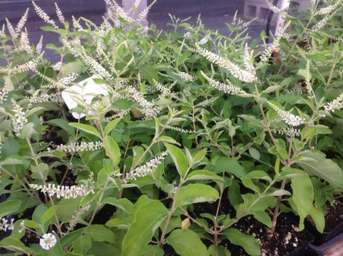 Aloysia virgata | Try Fragrant Perennial Verbenas for Attracting Bees and Butterflies