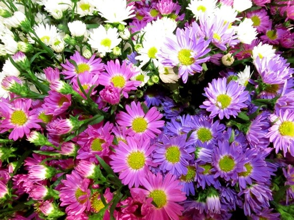 assorted asters | Perennial Flowers All Season: Perennial Garden Design Guide for Blooms in Spring Summer and Fall