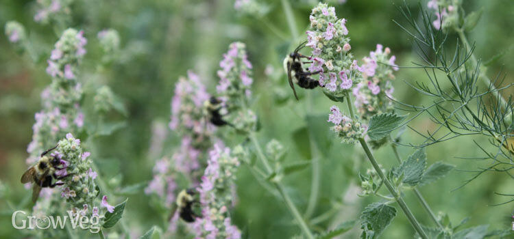 Catnip | An Herb Butterfly And Bee Garden: Herb Gardening with a View Toward Attracting Insect Pollinators