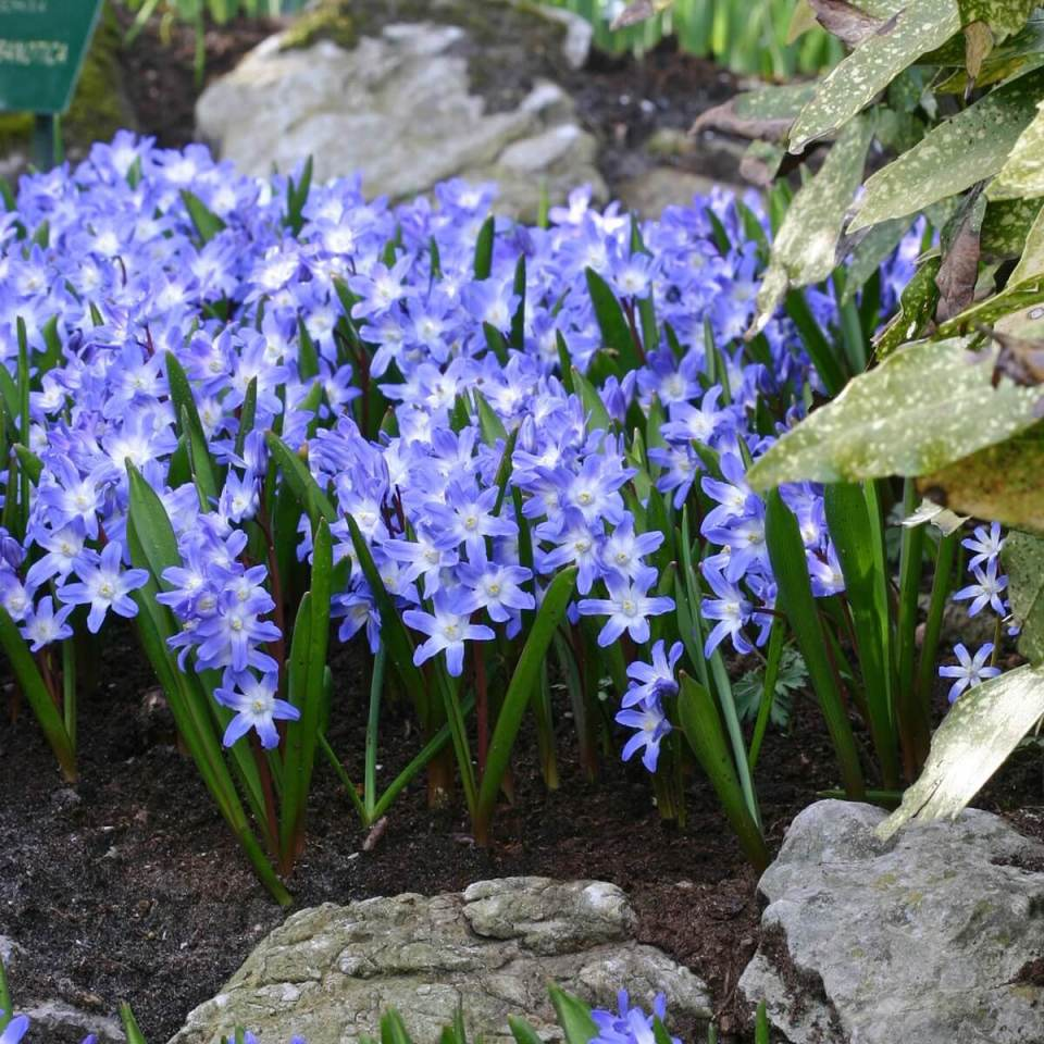Chionodoxa | Perennial Flowers All Season: Perennial Garden Design Guide for Blooms in Spring Summer and Fall