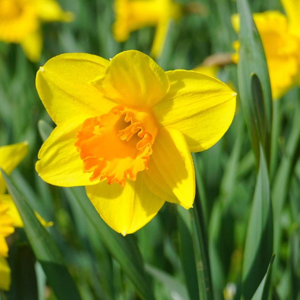 daffodils (Narcissus)   Perennial Flowers All Season: Perennial Garden Design Guide for Blooms in Spring Summer and Fall