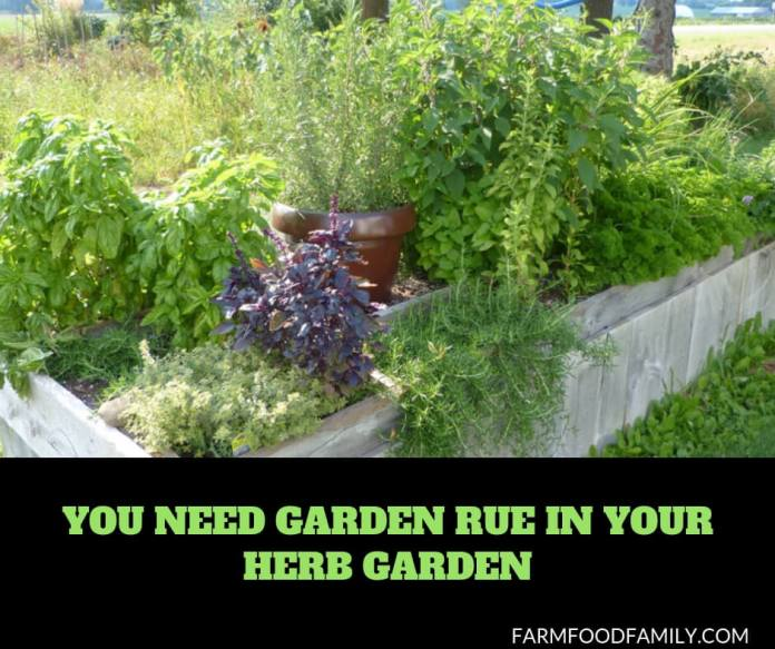 How to grow and care for rue herb plants