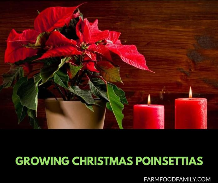 Growing Christmas Poinsettias